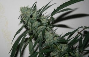 Triple Scoop Cannabis Strain Plant