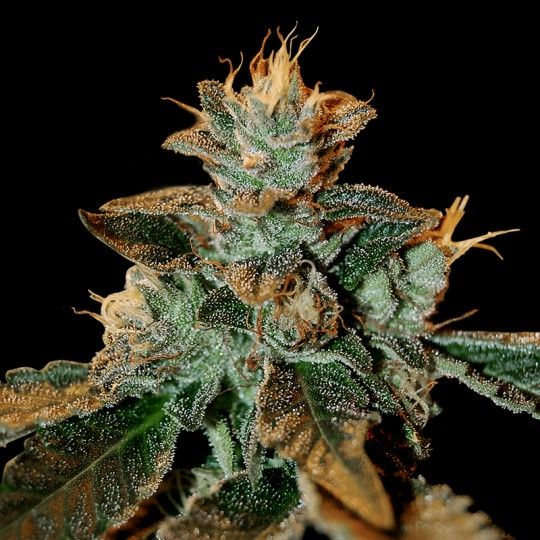 Cataract Kush Seeds