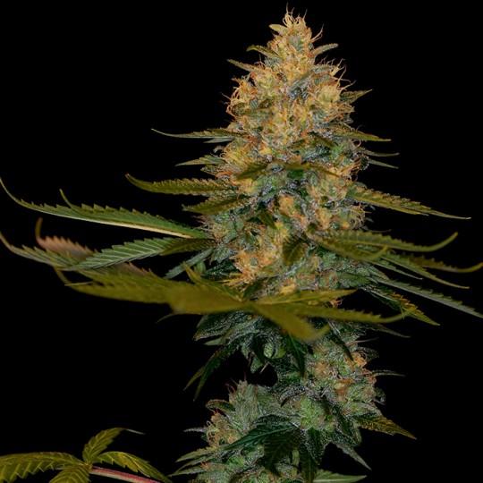 Exodus Kush Marijuana Seeds