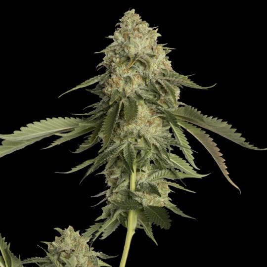 Golden Berry Feminized Marijuana Seeds