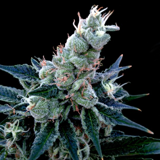 Double Alien 18 Marijuana Seeds
