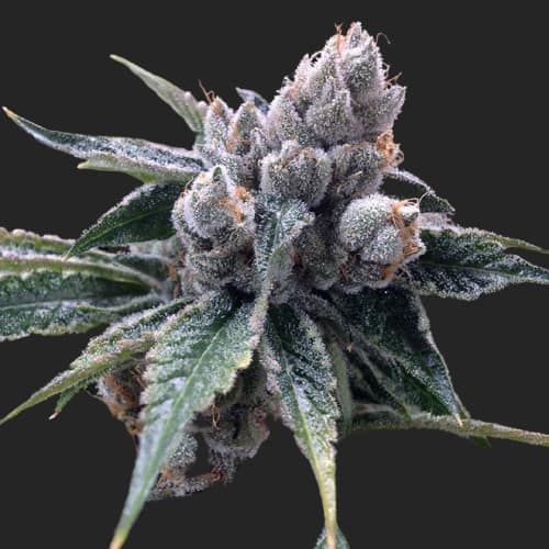gyo white walker kush21269 nobg