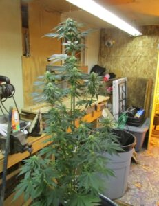 jack the ripper cannabis plant