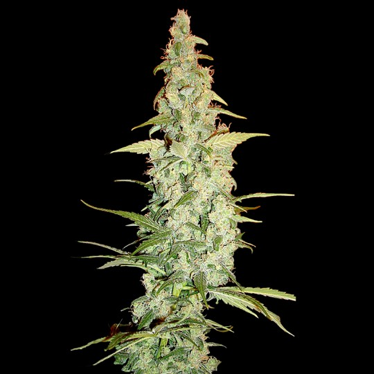 DNA Genetics Cole Train Feminized Cannabis seeds