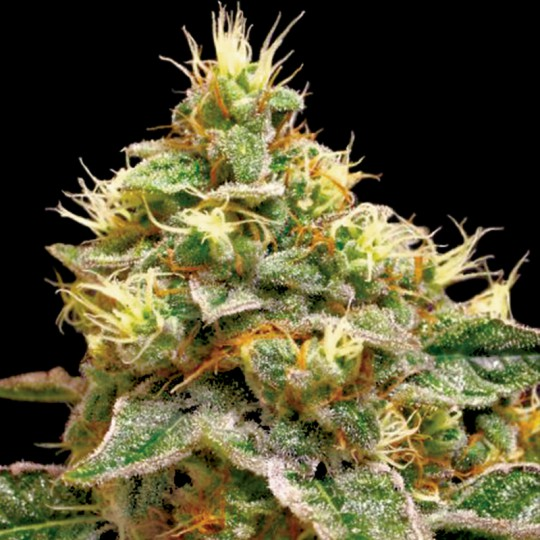 Confidential Cheese Feminized Marijuana Seeds