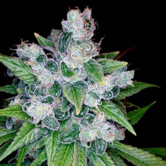 Kandy Kush Marijuana Seeds
