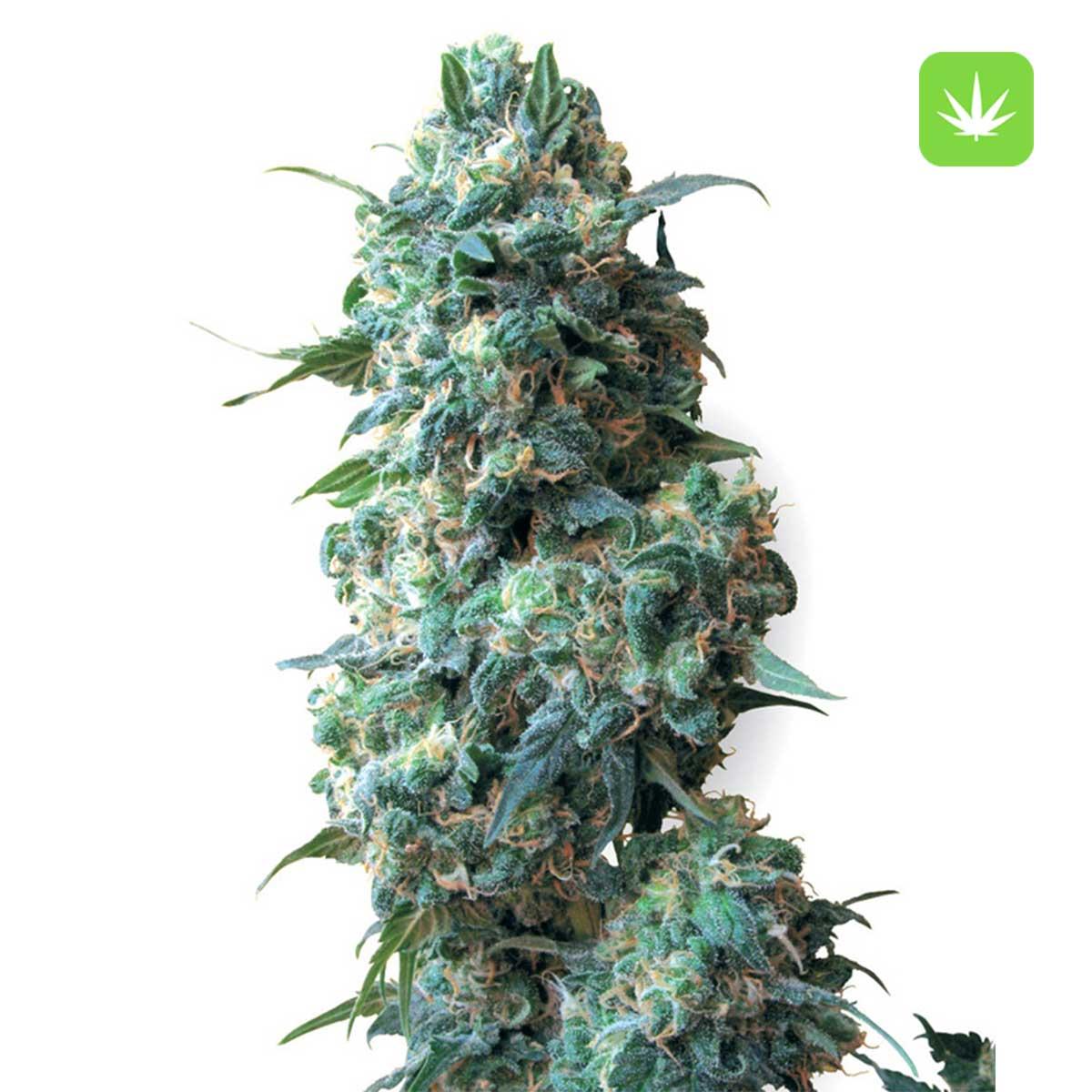Afghan Kush Seeds Cannabis Avenue