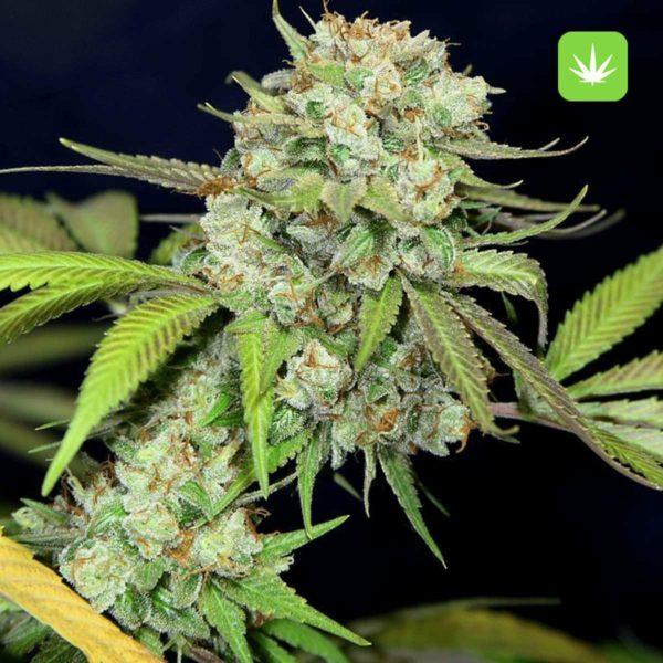 Death Star 2 Cannabis Avenue 600x600 1