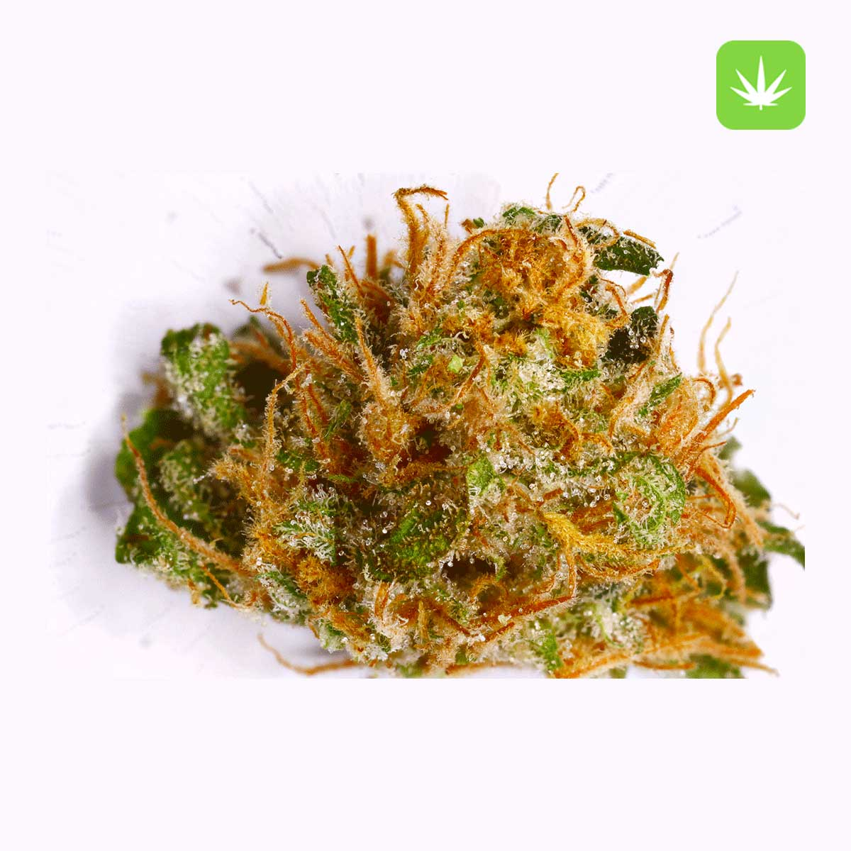 Hindu Kush 2 Cannabis Avenue 1
