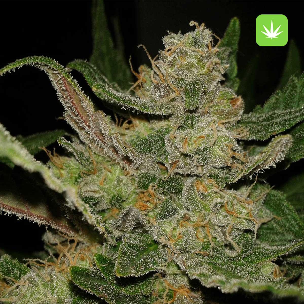 Hindu Kush 2 Cannabis Avenue