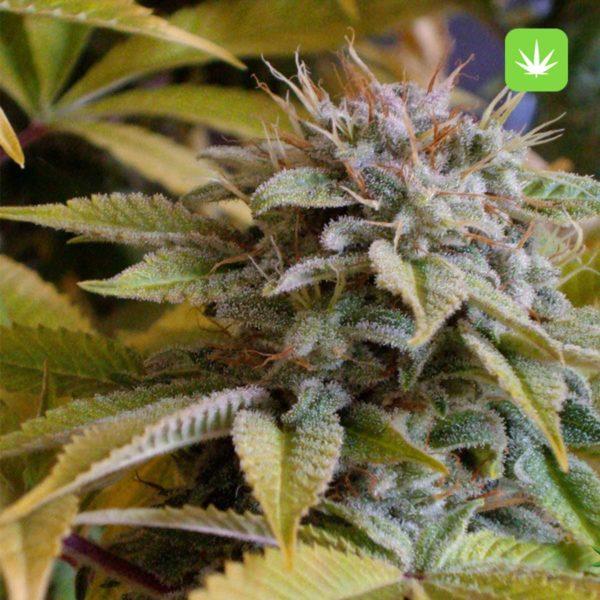 Mango Kush 2 Cannabis Avenue 600x600 1