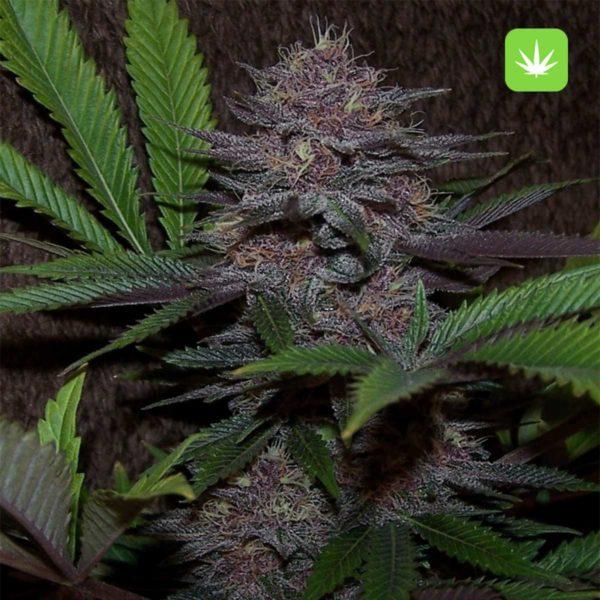 Purple Kush 2 Cannabis Avenue 600x600 1
