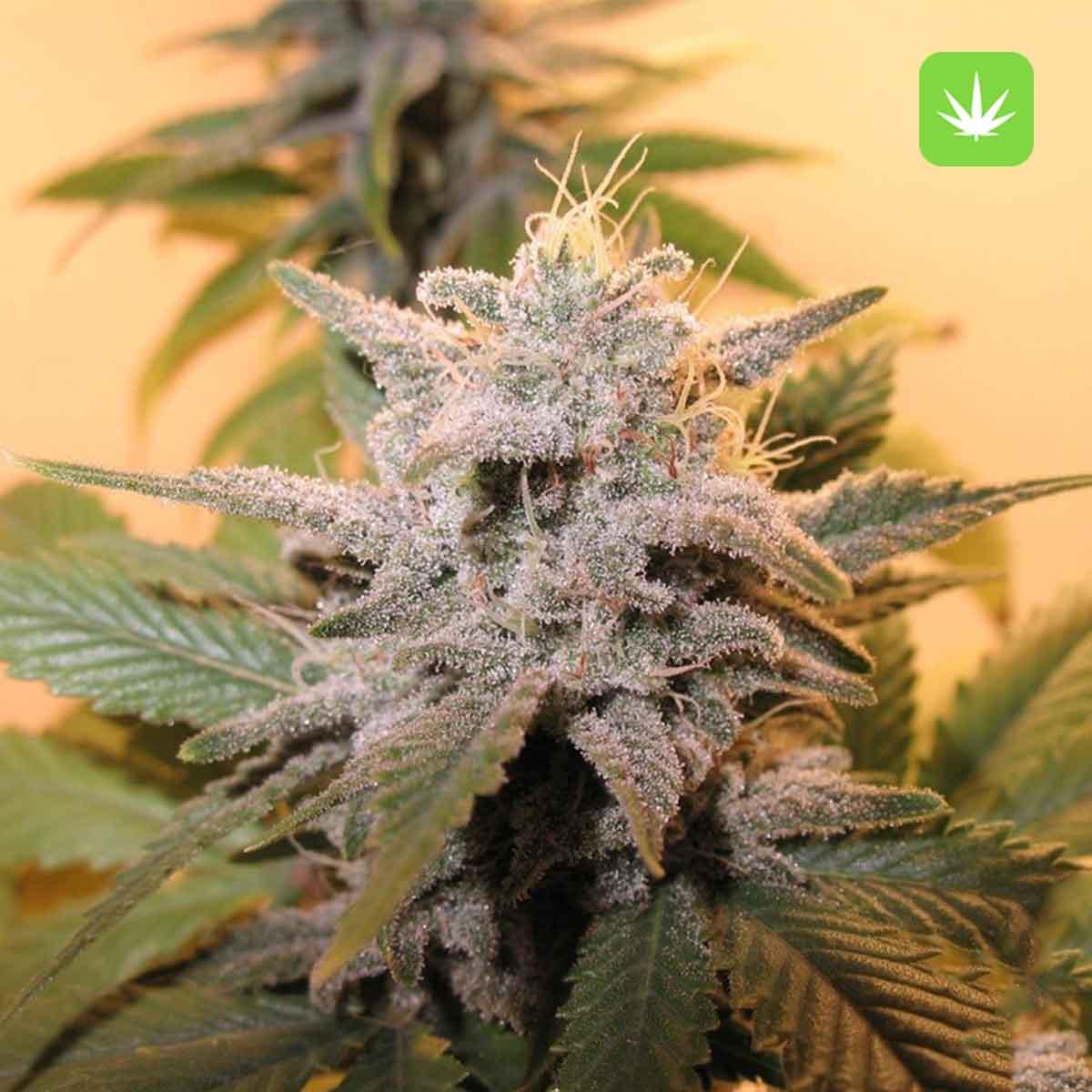 Sensi Star 2 Cannabis Avenue