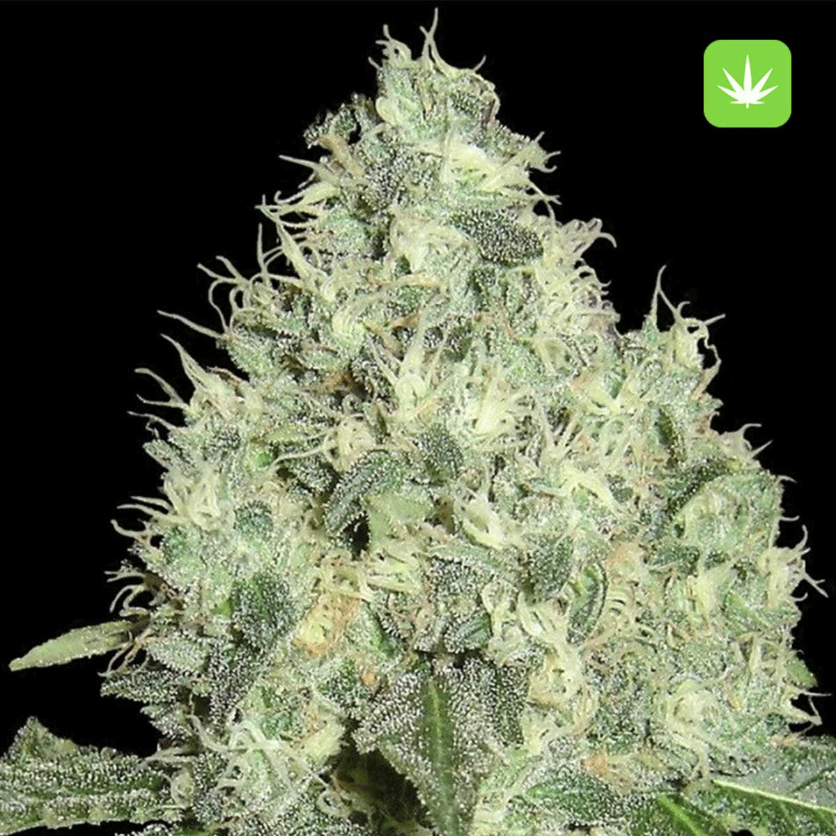 White Widow 2 Cannabis Avenue