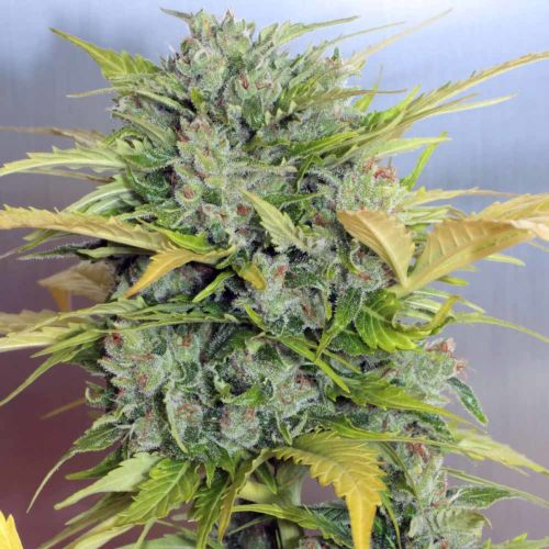 Buy Auto AK-47 Auto Flower Cannabis Seeds