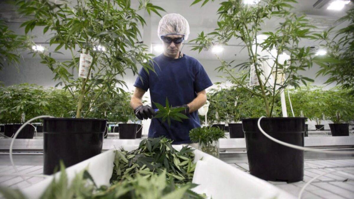 cannabis scaled
