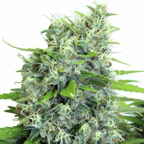 Buy Kali-Bubba Regular Cannabis Seeds