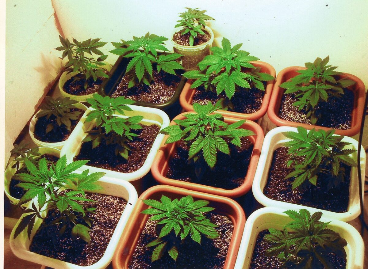 marijuana 1 scaled
