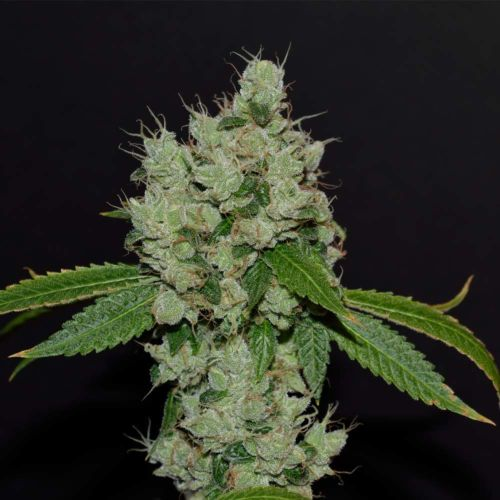 Buy Sour Josh Regular Cannabis Seeds Online